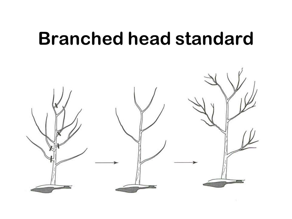 Branched head standard
