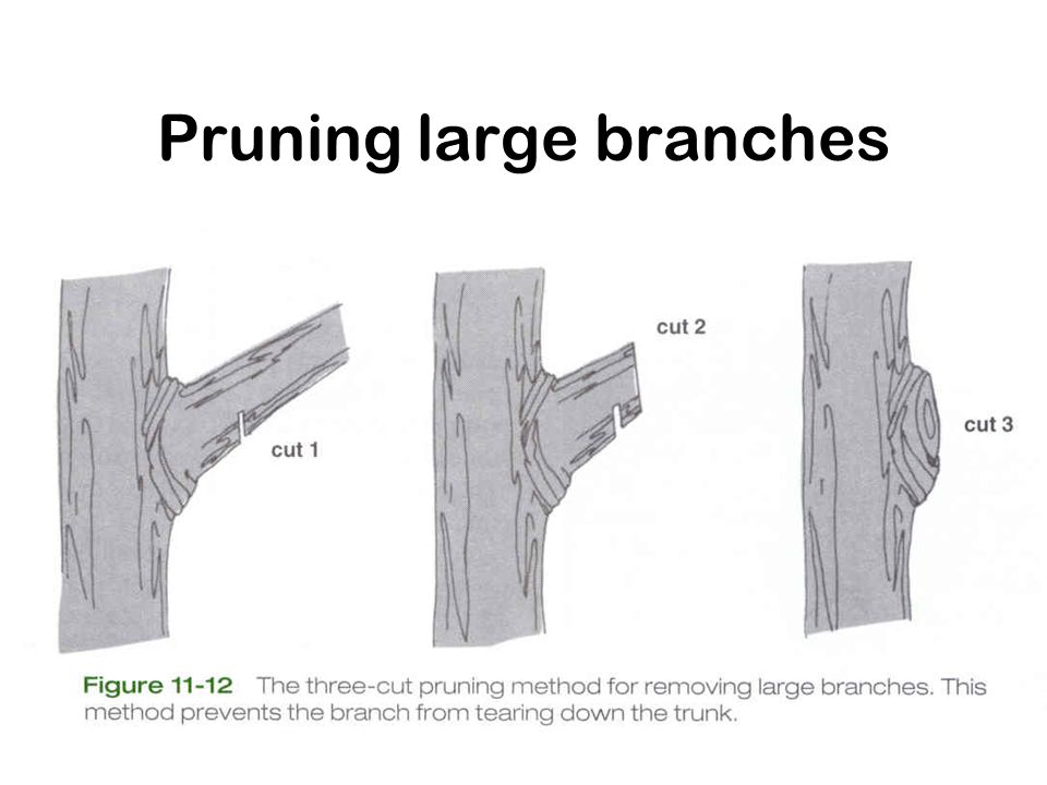 Pruning large branches