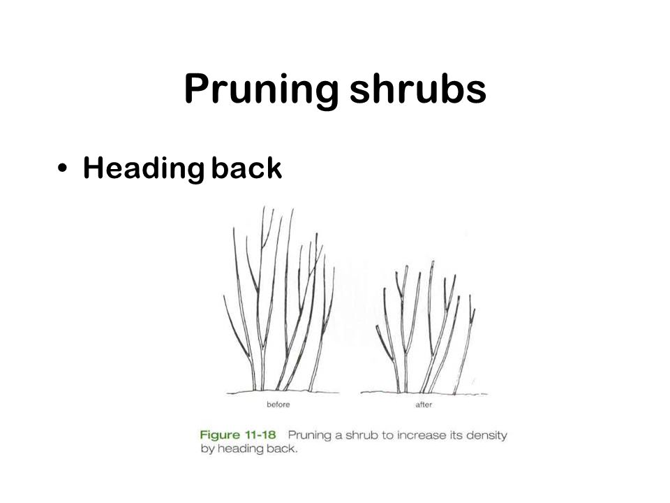 Pruning shrubs Heading back