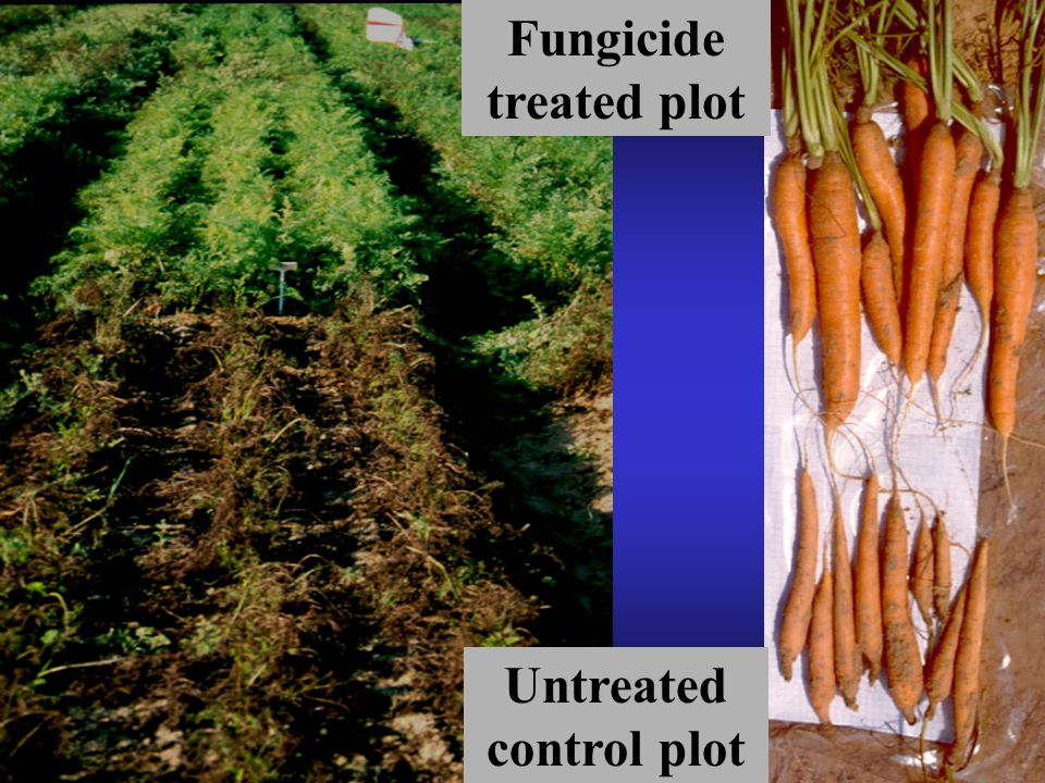 Fungicide treated plot Untreated control plot