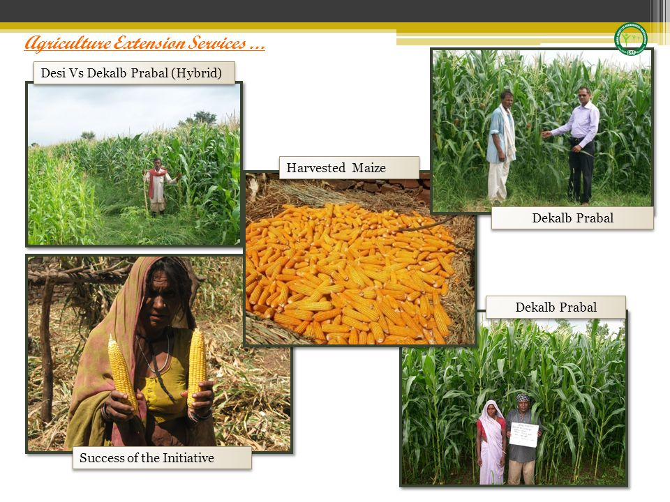 Desi Vs Dekalb Prabal (Hybrid) Dekalb Prabal Harvested Maize Success of the Initiative Agriculture Extension Services …