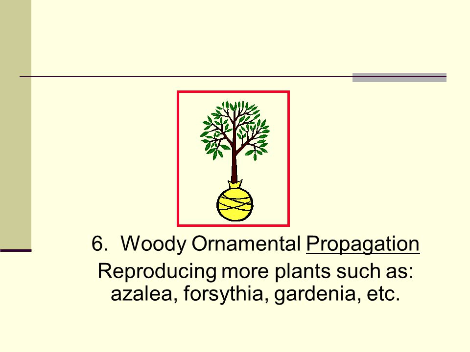 6. Woody Ornamental Propagation Reproducing more plants such as: azalea, forsythia, gardenia, etc.