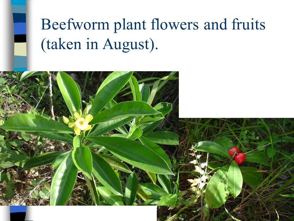 Beefworm plant flowers and fruits (taken in August).
