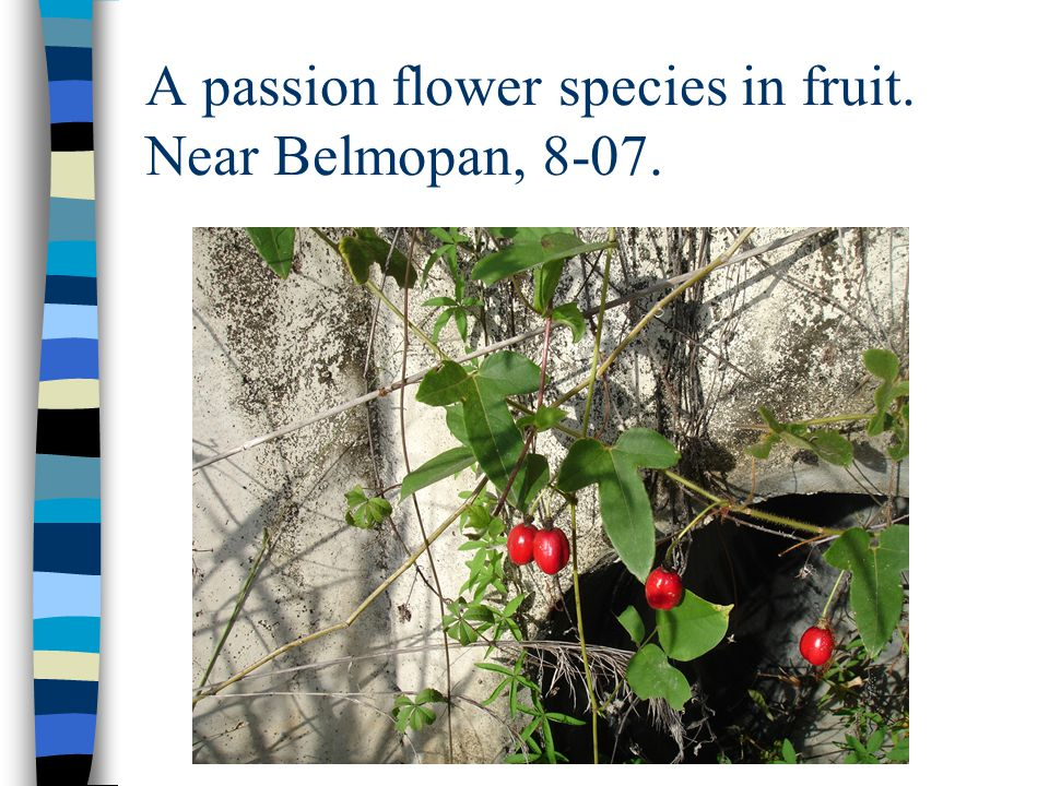 A passion flower species in fruit. Near Belmopan, 8-07.