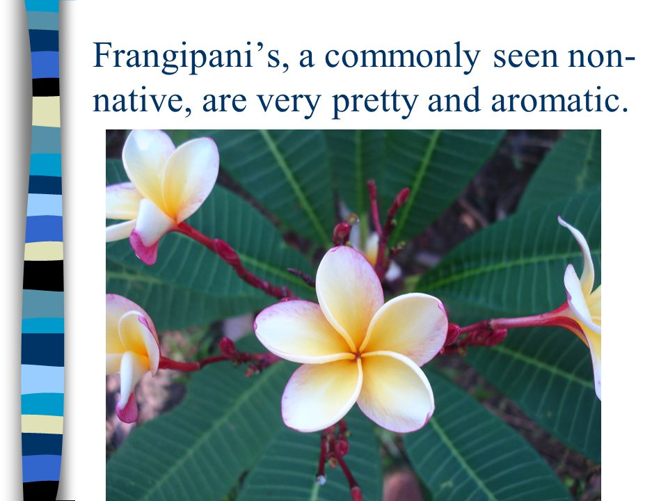 Frangipani's, a commonly seen non- native, are very pretty and aromatic.
