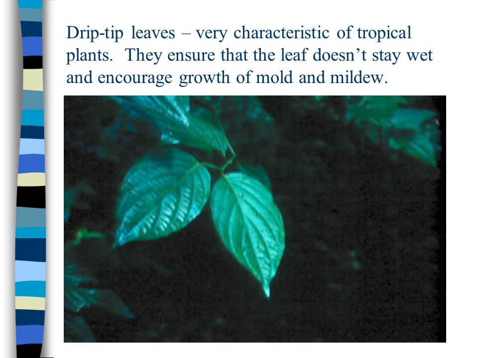 Drip-tip leaves – very characteristic of tropical plants. They ensure that the leaf doesn't stay wet and encourage growth of mold and mildew.
