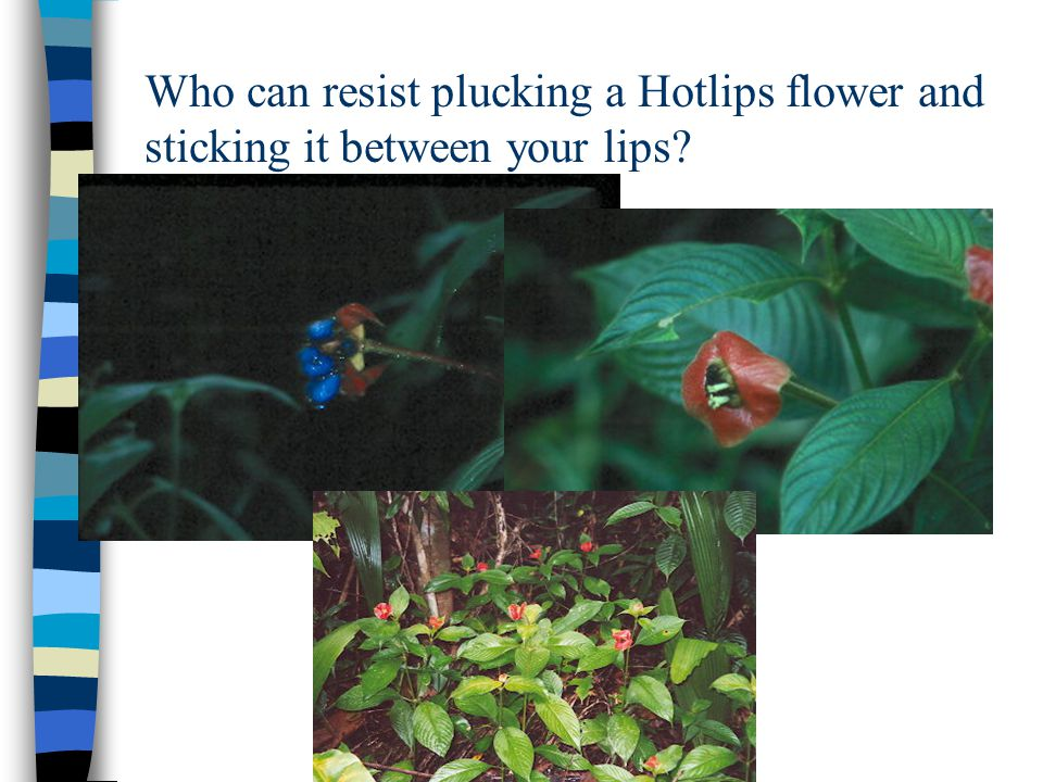 Heliconias come in a variety of shapes & colors.