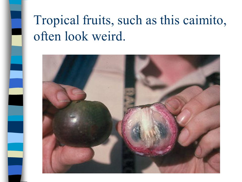 Tropical fruits, such as this caimito, often look weird.