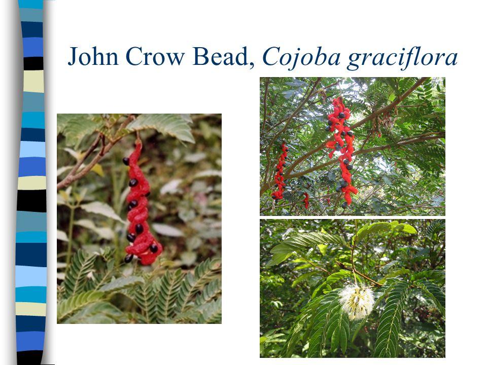 John Crow Bead, Cojoba graciflora