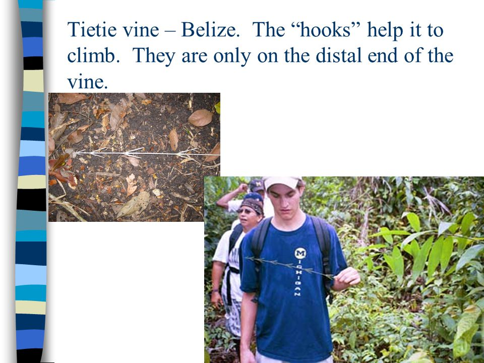 Tietie vine – Belize. The hooks help it to climb. They are only on the distal end of the vine.