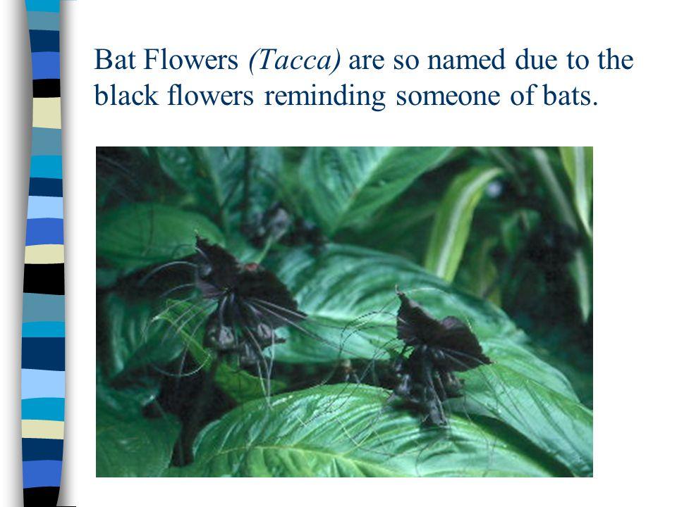 Black orchids, the Belize national flower