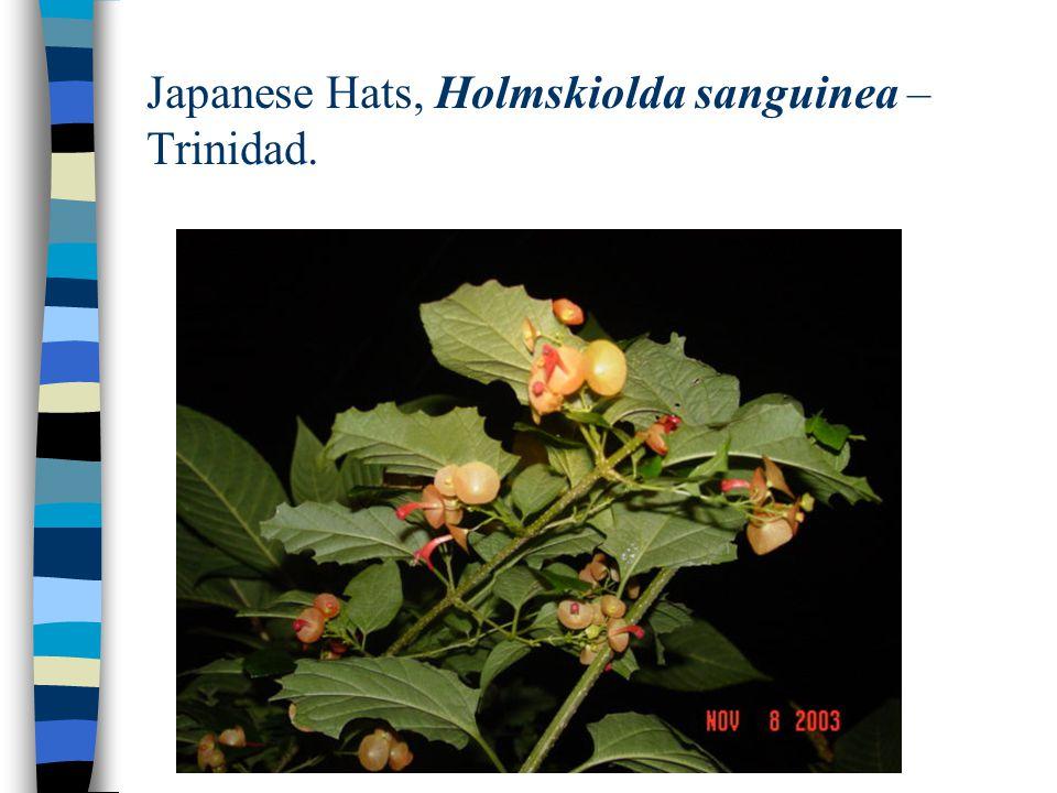 Japanese Hats, Holmskiolda sanguinea – Trinidad.