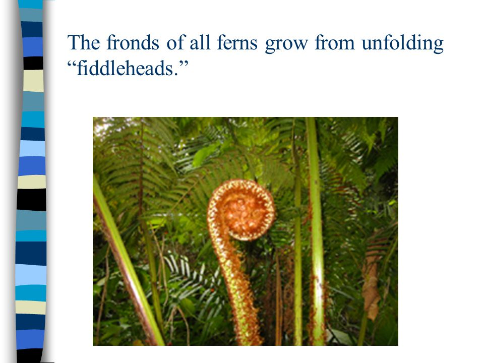 "The fronds of all ferns grow from unfolding ""fiddleheads."""