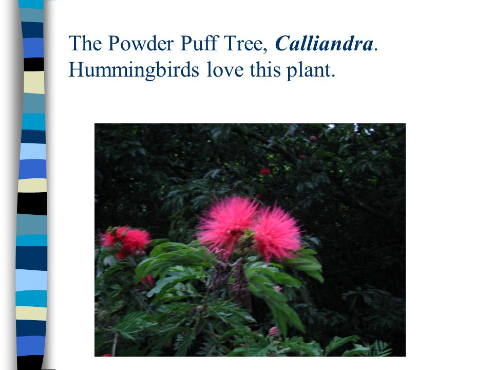 The Powder Puff Tree, Calliandra. Hummingbirds love this plant.