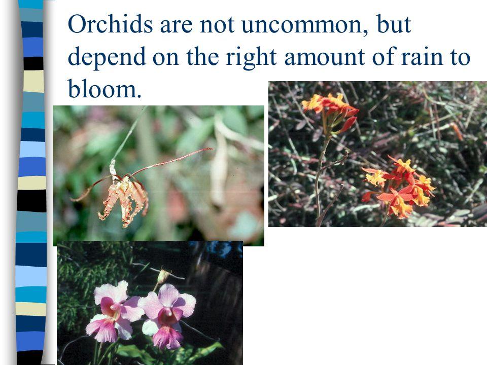 Bougainvillea is a common tropical landscape species (also comes in purple & peach).
