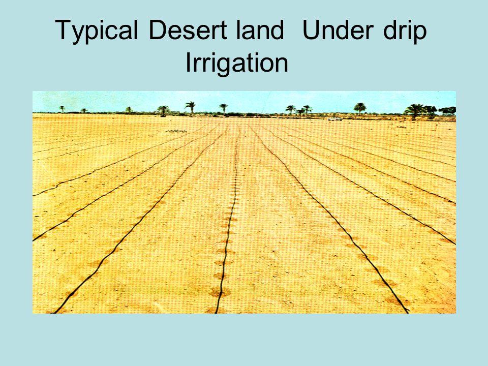 Typical Desert land Under drip Irrigation