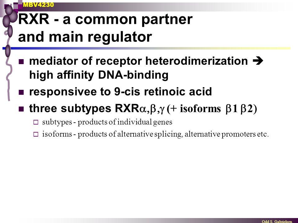 MBV4230 Odd S. Gabrielsen RXR - a common partner and main regulator mediator of receptor heterodimerization  high affinity DNA-binding responsivee to