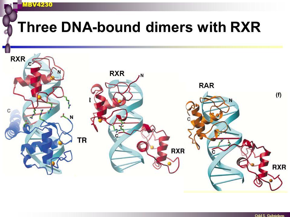 MBV4230 Odd S. Gabrielsen Three DNA-bound dimers with RXR RXR RAR