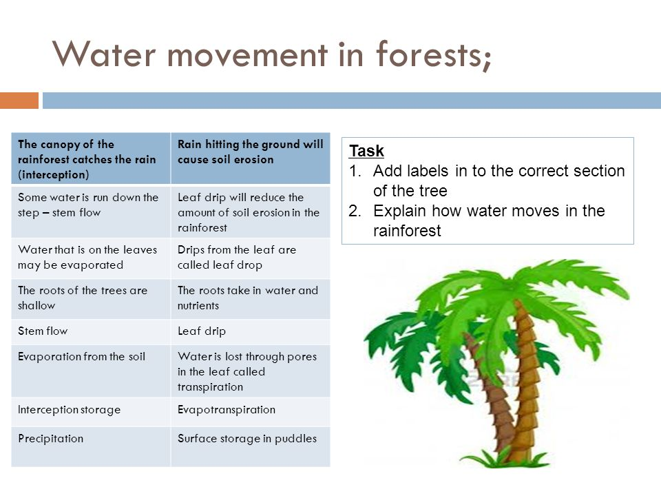 Water movement in forests; The canopy of the rainforest catches the rain (interception) Rain hitting the ground will cause soil erosion Some water is run down the step – stem flow Leaf drip will reduce the amount of soil erosion in the rainforest Water that is on the leaves may be evaporated Drips from the leaf are called leaf drop The roots of the trees are shallow The roots take in water and nutrients Stem flowLeaf drip Evaporation from the soilWater is lost through pores in the leaf called transpiration Interception storageEvapotranspiration PrecipitationSurface storage in puddles Task 1.Add labels in to the correct section of the tree 2.Explain how water moves in the rainforest