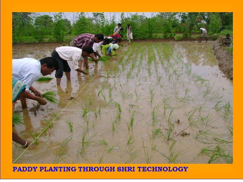 29 PADDY PLANTING THROUGH SHRI TECHNOLOGY