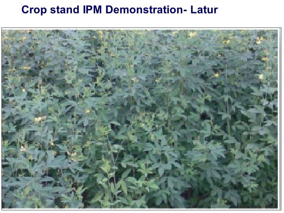 Crop stand IPM Demonstration- Latur 32