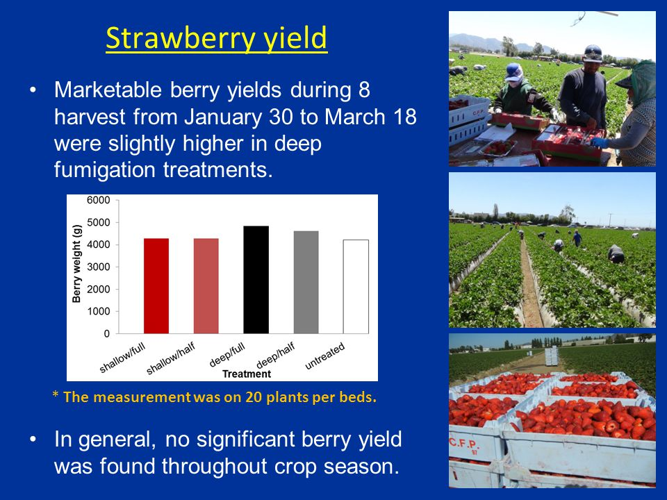 Marketable berry yields during 8 harvest from January 30 to March 18 were slightly higher in deep fumigation treatments.