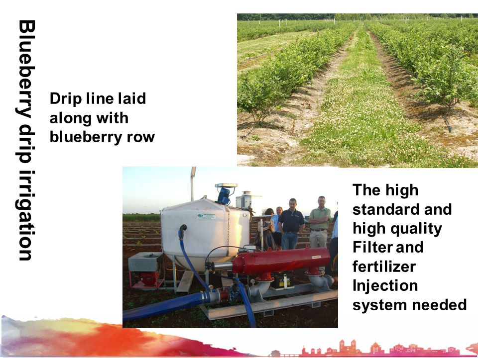 Drip line laidalong withblueberry row The highstandard andhigh qualityFilter andfertilizerInjectionsystem needed Blueberry drip irrigation