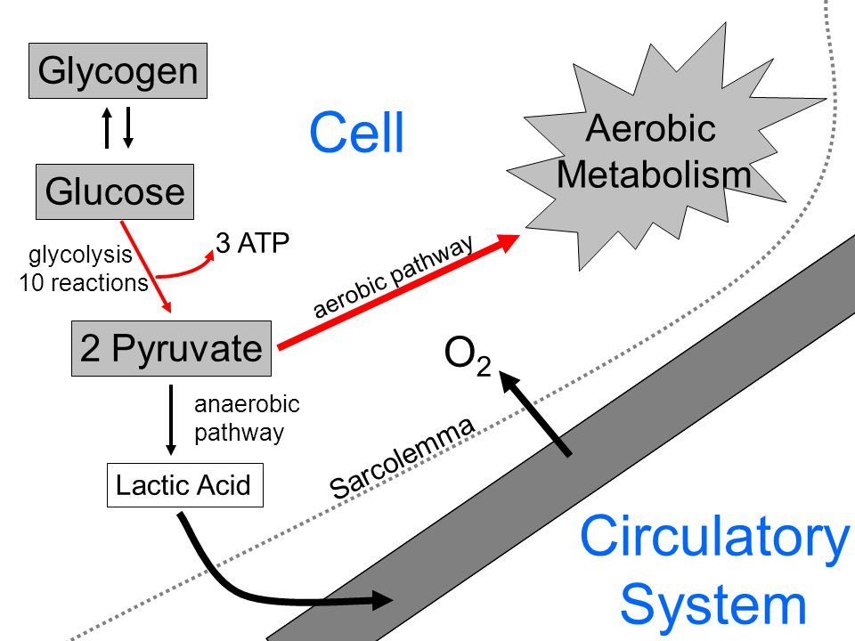 Glucose Glycogen 2 Pyruvate 3 ATP glycolysis 10 reactions Lactic Acid anaerobic pathway Circulatory System aerobic pathway Aerobic Metabolism O2O2 Sarcolemma Cell O2O2