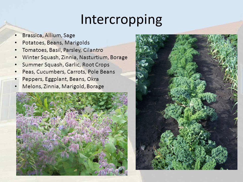 Intercropping Brassica, Allium, Sage Potatoes, Beans, Marigolds Tomatoes, Basil, Parsley, Cilantro Winter Squash, Zinnia, Nasturtium, Borage Summer Sq