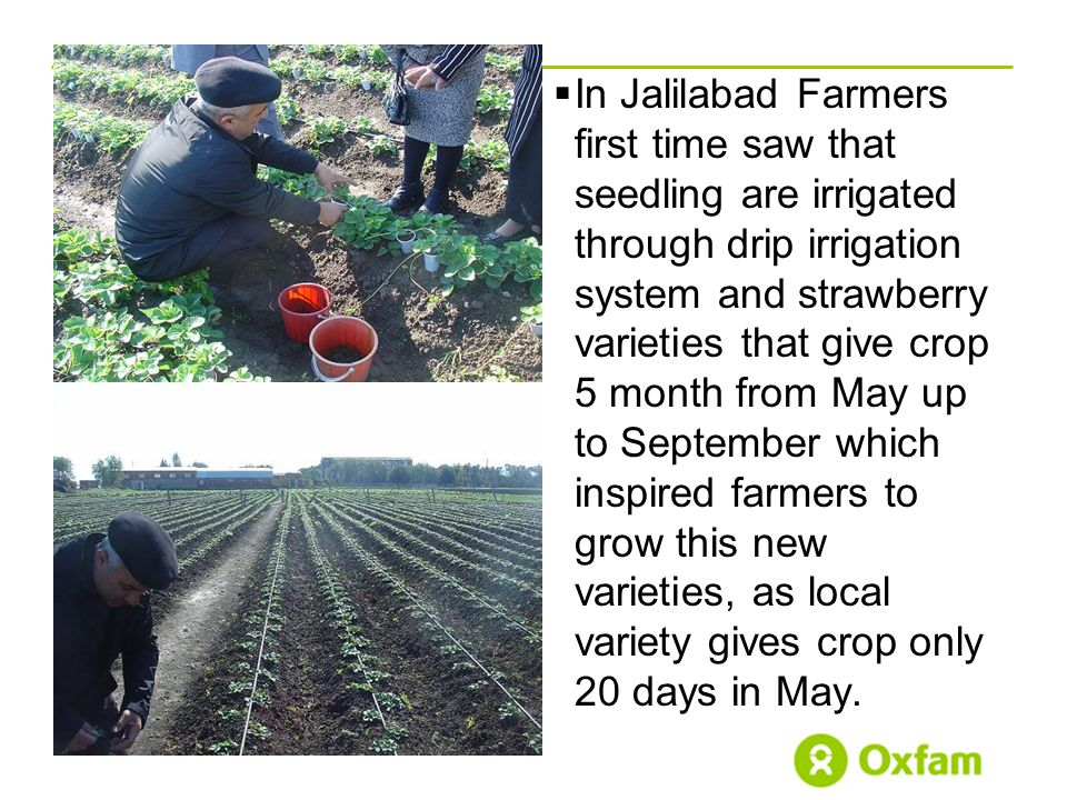 .  In Jalilabad Farmers first time saw that seedling are irrigated through drip irrigation system and strawberry varieties that give crop 5 month from May up to September which inspired farmers to grow this new varieties, as local variety gives crop only 20 days in May.