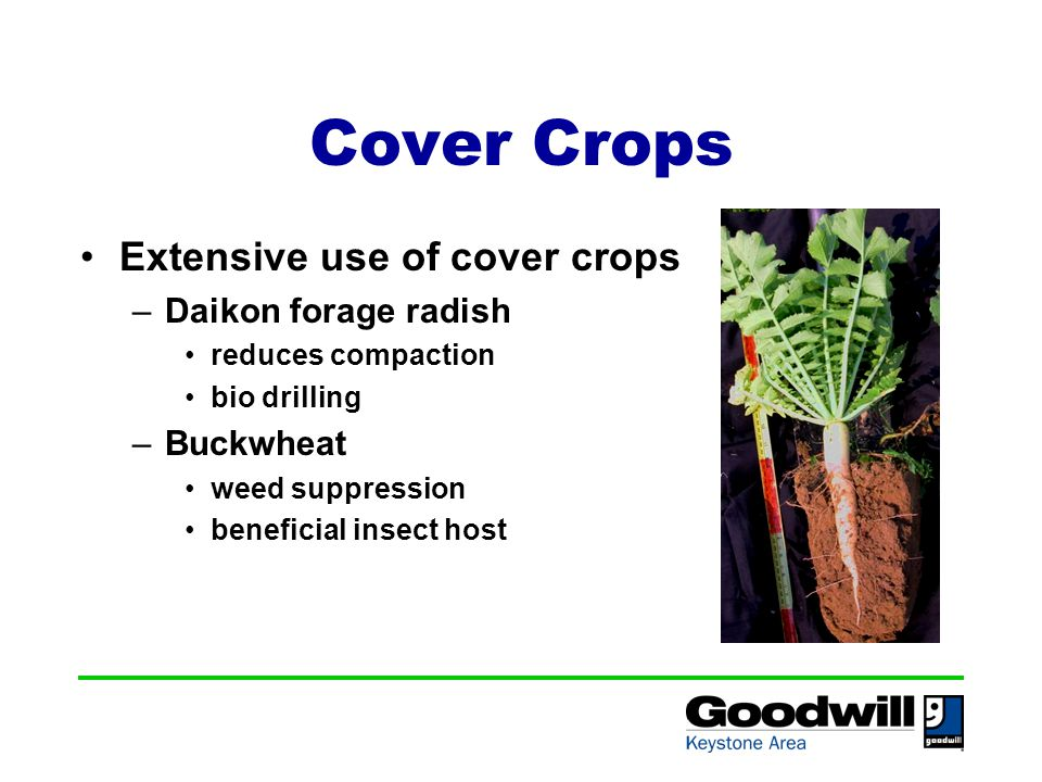 Cover Crops Extensive use of cover crops –Daikon forage radish reduces compaction bio drilling –Buckwheat weed suppression beneficial insect host