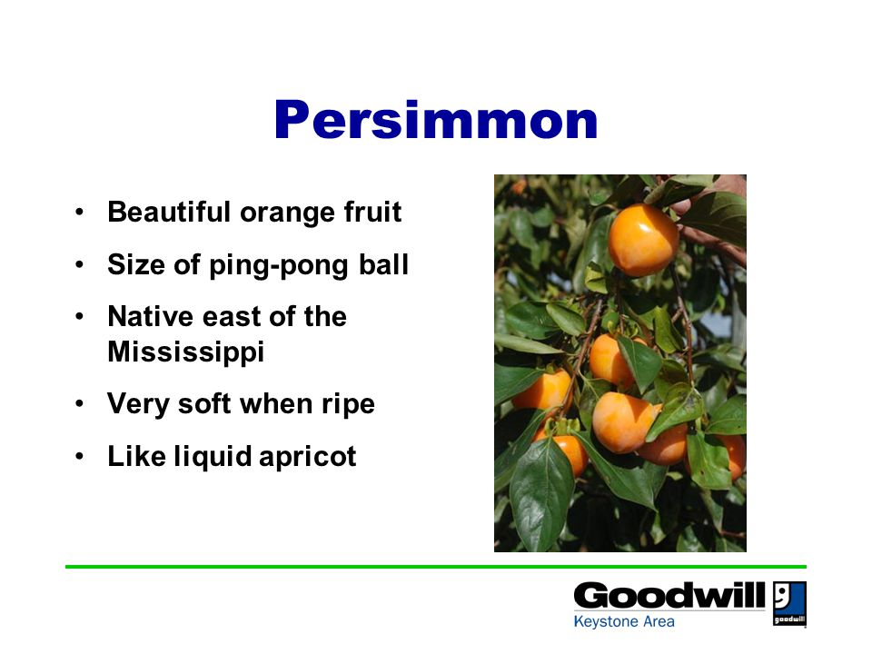 Persimmon Beautiful orange fruit Size of ping-pong ball Native east of the Mississippi Very soft when ripe Like liquid apricot