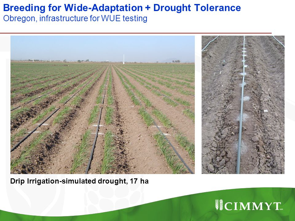 Breeding for Wide-Adaptation + Drought Tolerance Obregon, infrastructure for WUE testing Drip Irrigation-simulated drought, 17 ha