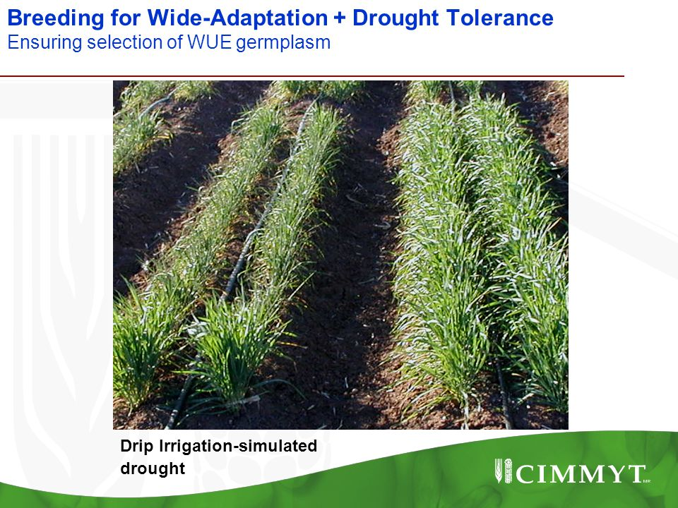 Breeding for Wide-Adaptation + Drought Tolerance Ensuring selection of WUE germplasm Drip Irrigation-simulated drought