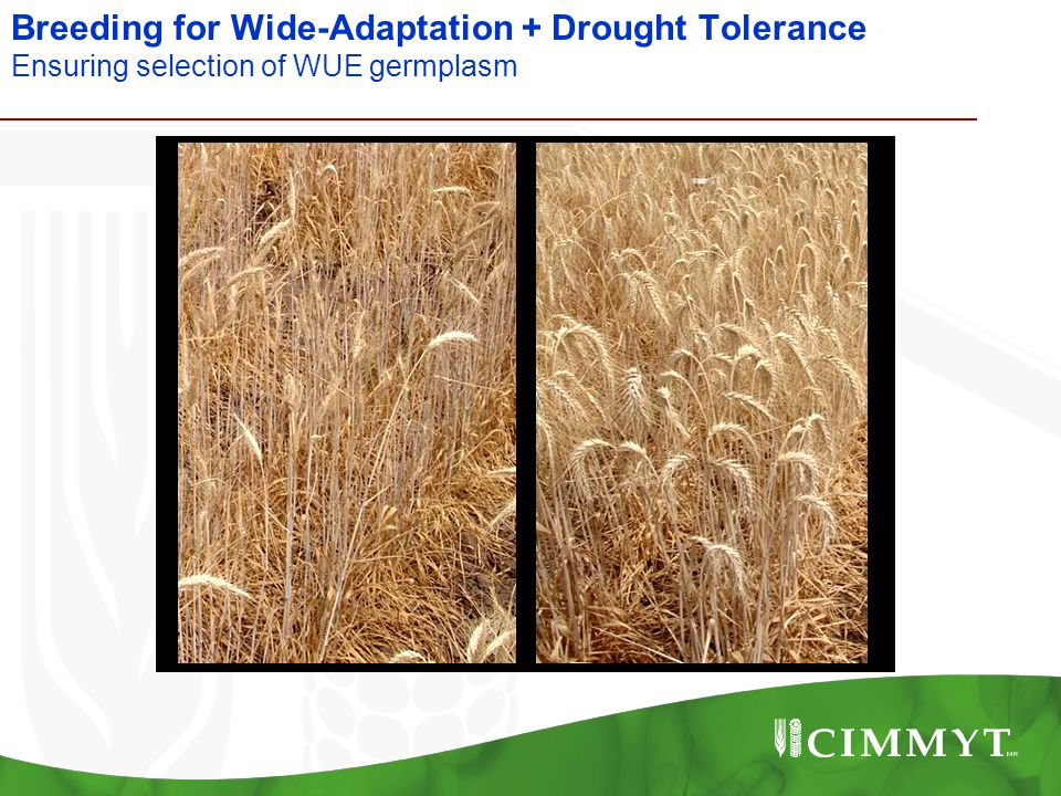 Breeding for Wide-Adaptation + Drought Tolerance Ensuring selection of WUE germplasm