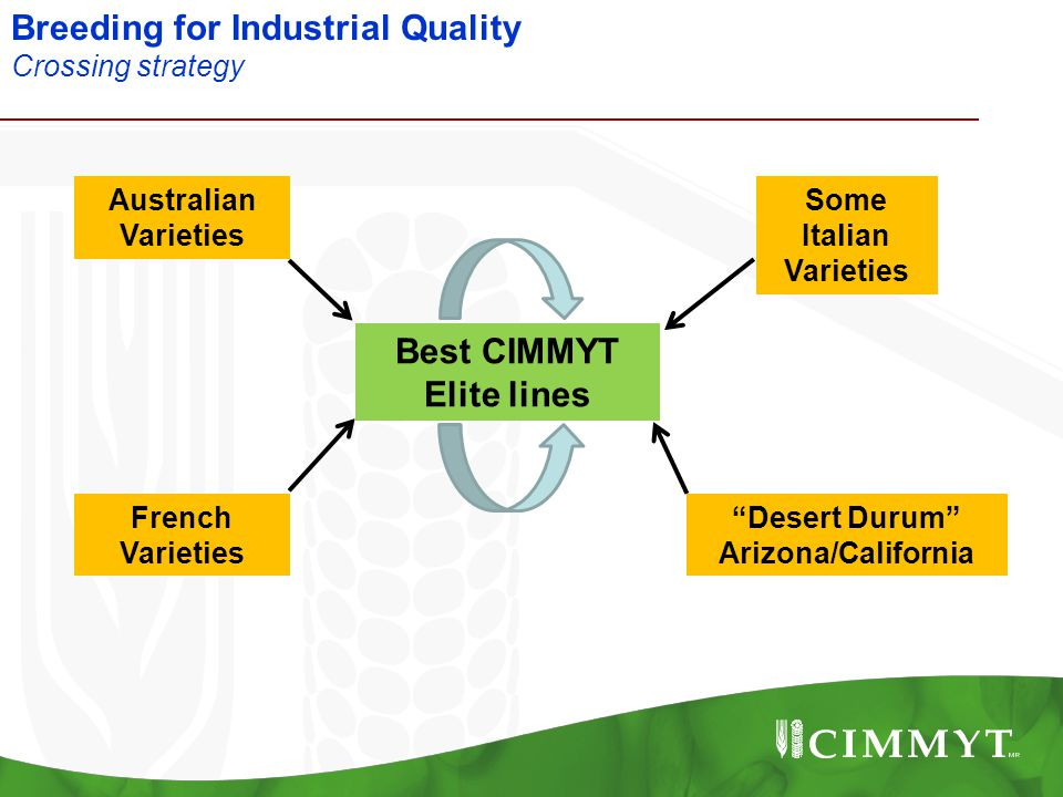 "Breeding for Industrial Quality Crossing strategy Best CIMMYT Elite lines Australian Varieties Some Italian Varieties ""Desert Durum"" Arizona/Californi"