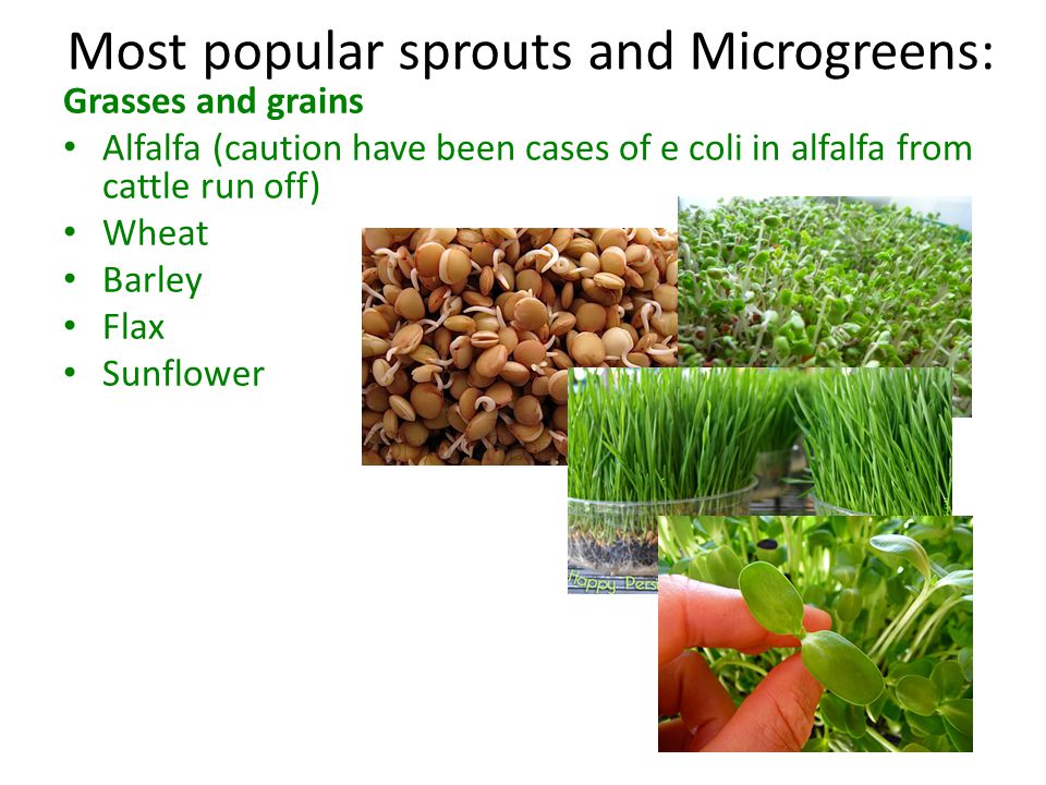 Most popular sprouts and Microgreens: Grasses and grains Alfalfa (caution have been cases of e coli in alfalfa from cattle run off) Wheat Barley Flax Sunflower Brassica Mustard greens, Broccoli (healthiest option) Kale