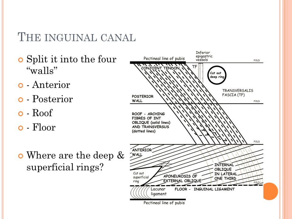 T HE INGUINAL CANAL Split it into the four walls - Anterior - Posterior - Roof - Floor Where are the deep & superficial rings