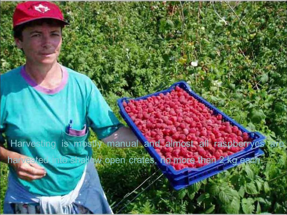 Harvesting is mostly manual and almost all raspberryes are harvested into shallow open crates, no more than 2 kg each.