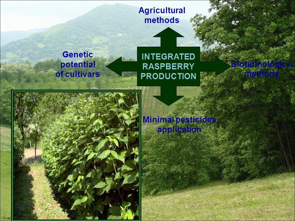 INTEGRATED RASPBERRY PRODUCTION Agricultural methods Genetic potential of cultivars Biotehnologic al methods Minimal pesticides application