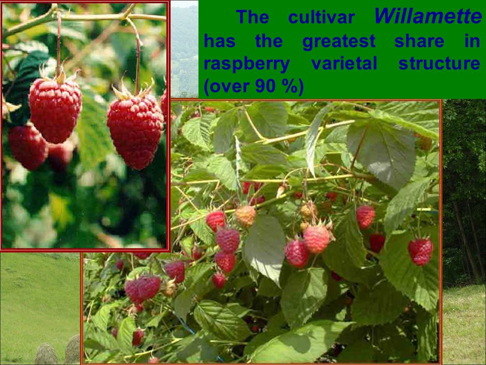 The cultivar Willamette has the greatest share in raspberry varietal structure (over 90 %)