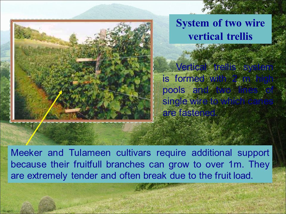 System of two wire vertical trellis Vertical trellis system is formed with 2 m high pools and two lines of single wire to which canes are fastened. Me
