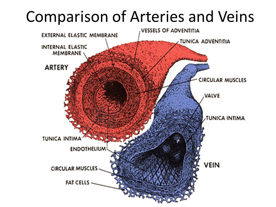 Comparison of Arteries and Veins