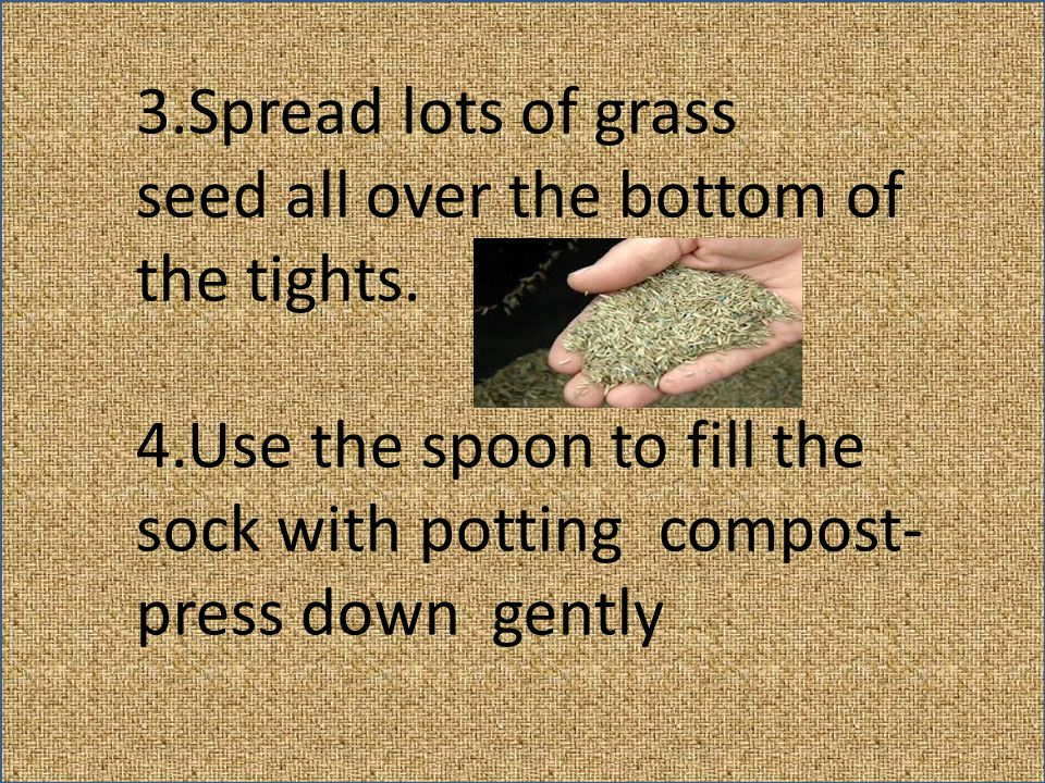 3.Spread lots of grass seed all over the bottom of the tights. 4.Use the spoon to fill the sock with potting compost- press down gently