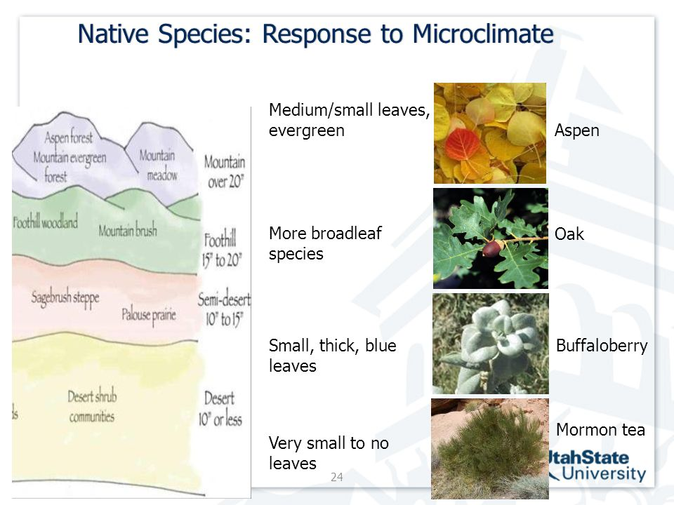 Native Species: Response to MicroclimateNative Species: Response to Microclimate 24 Eriogonm corymbosum Medium/small leaves, evergreen More broadleaf