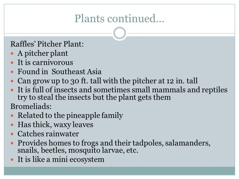 Plants continued… Raffles' Pitcher Plant: A pitcher plant It is carnivorous Found in Southeast Asia Can grow up to 30 ft. tall with the pitcher at 12