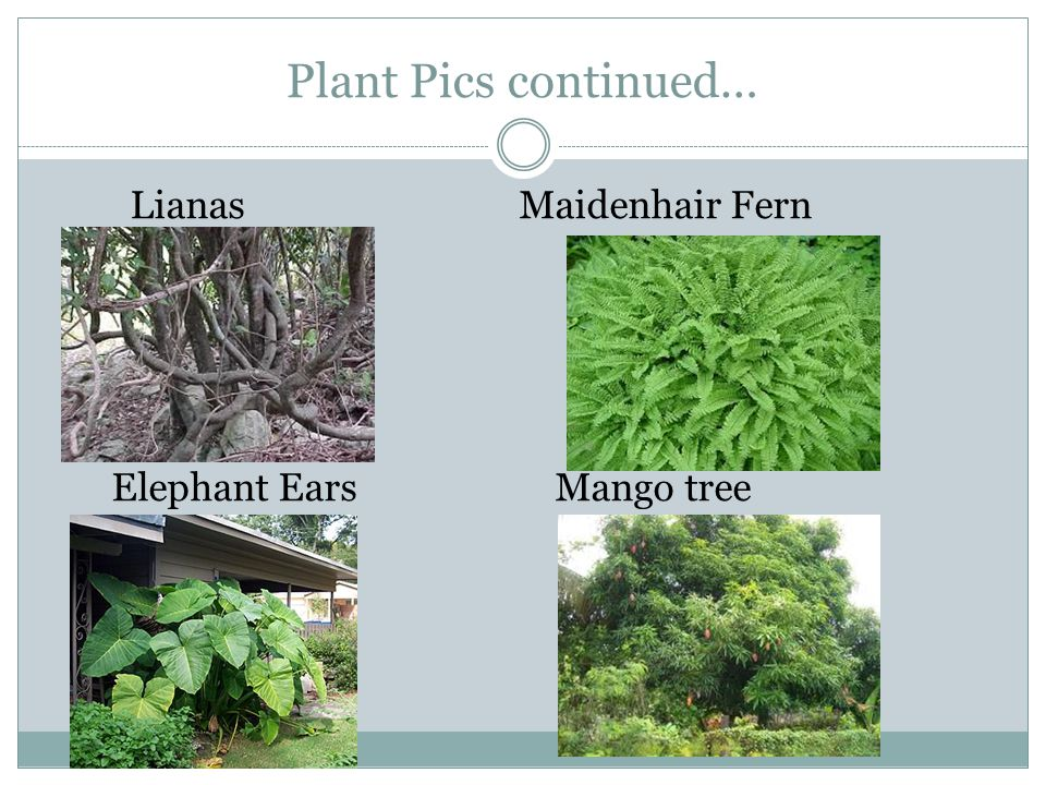 Plant Pics continued… Lianas Maidenhair Fern Elephant Ears Mango tree