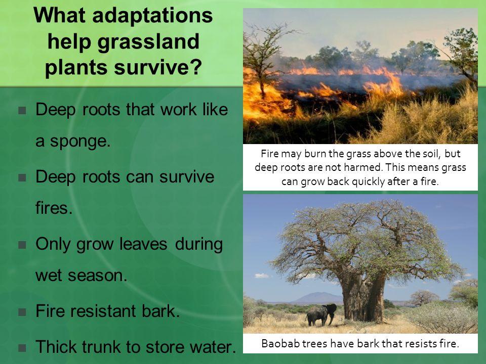 What adaptations help grassland plants survive.Deep roots that work like a sponge.