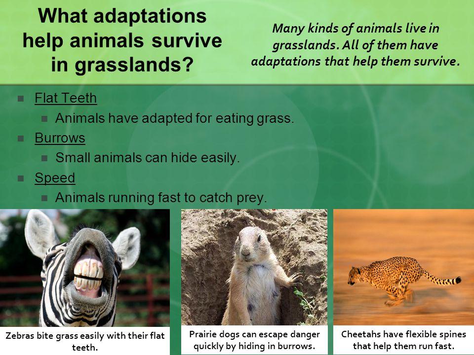 What adaptations help animals survive in grasslands.