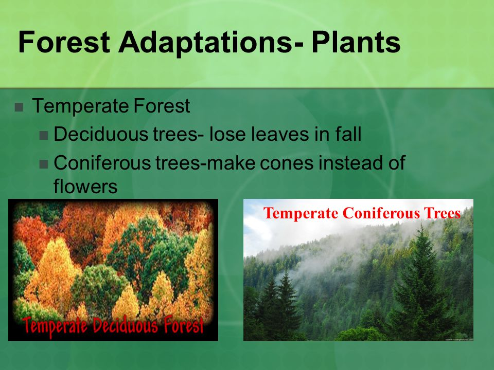Forest Adaptations- Plants Temperate Forest Deciduous trees- lose leaves in fall Coniferous trees-make cones instead of flowers Temperate Coniferous Trees